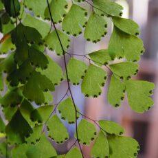 Capelvenere, una felce dalle belle foglie: come curarla? Si può coltivare in casa o in giardino?